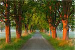Chestnut tree-lined avenue in early morning light, Nature Reserve Moenchbruch, Moerfelden-Walldorf, Hesse, Germany, Europe