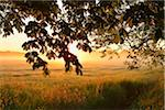 Chestnut tree branches and field at sunrise, Nature Reserve Moenchbruch, Moerfelden-Walldorf, Hesse, Germany, Europe