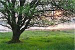 Tree at Sunrise, Spring, Ober-Moos, Grebenhain, Vogelsberg District, Hesse, Germany