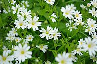 Close-up of Chickweed Flower in Spring, Vogelsberg District, Hesse, Germany Stock Photo - Premium Royalty-Freenull, Code: 600-07599980