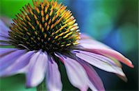 stamen - Flower details Stock Photo - Premium Royalty-Freenull, Code: 6106-07602166