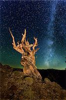 star sky night - Ancient Bristlecone Pine Tree Forest, California Stock Photo - Premium Royalty-Freenull, Code: 6106-07602389