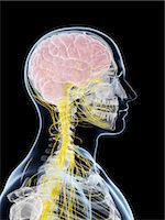 Male nervous system, computer artwork. Stock Photo - Premium Royalty-Freenull, Code: 679-07603700