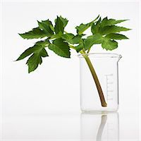 pharmaceutical plant - Angelica archangelica stem. Stock Photo - Premium Royalty-Freenull, Code: 679-07604362
