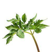 pharmaceutical plant - Angelica archangelica stem. Stock Photo - Premium Royalty-Freenull, Code: 679-07604366