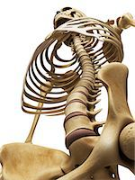 rib - Spine and thorax, computer artwork. Stock Photo - Premium Royalty-Freenull, Code: 679-07604393