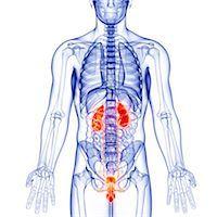 Male anatomy, computer artwork. Stock Photo - Premium Royalty-Freenull, Code: 679-07605176