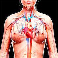 Female cardiovascular system, computer artwork. Stock Photo - Premium Royalty-Freenull, Code: 679-07605548