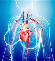 Female cardiovascular system, computer artwork. Stock Photo - Premium Royalty-Freenull, Code: 679-07605553