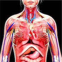 Female anatomy, computer artwork. Stock Photo - Premium Royalty-Freenull, Code: 679-07605686