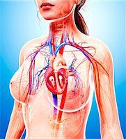 Female cardiovascular system, computer artwork. Stock Photo - Premium Royalty-Freenull, Code: 679-07605691