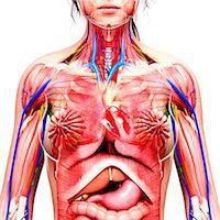 Female anatomy, computer artwork. Stock Photo - Premium Royalty-Freenull, Code: 679-07605865