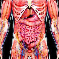Male anatomy, computer artwork. Stock Photo - Premium Royalty-Freenull, Code: 679-07605970