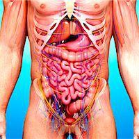 Male anatomy, computer artwork. Stock Photo - Premium Royalty-Freenull, Code: 679-07605979