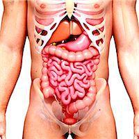 Male anatomy, computer artwork. Stock Photo - Premium Royalty-Freenull, Code: 679-07605980