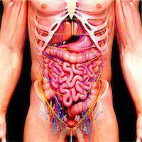 Male anatomy, computer artwork. Stock Photo - Premium Royalty-Freenull, Code: 679-07605985