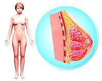 Female anatomy, computer artwork. Stock Photo - Premium Royalty-Freenull, Code: 679-07606190