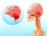 Human brain anatomy, computer artwork. Stock Photo - Premium Royalty-Freenull, Code: 679-07606555