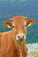 Close-up Portrait of Cow, Miltenberg, Bavaria, Germany, Europe Stock Photo - Premium Royalty-Freenull, Code: 600-07608288