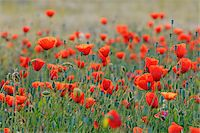 Field with Red Poppies (Papaver rhoeas), Pfungstadt, Hesse, Germany, Europe Stock Photo - Premium Royalty-Freenull, Code: 600-07608304