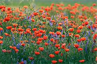 Field with Red Poppies (Papaver rhoeas), Pfungstadt, Hesse, Germany, Europe Stock Photo - Premium Royalty-Freenull, Code: 600-07608307