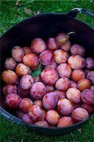 Basket full of freshly harvested plums Stock Photo - Premium Royalty-Freenull, Code: 698-07611528