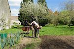 Mature man bending forward to weed vegetable garden