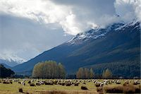 Sheep in Dart River Valley, Glenorchy, Queenstown, South Island, New Zealand, Pacific Stock Photo - Premium Rights-Managednull, Code: 841-07653168