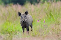perception - Portrait of Wild boar (Sus scrofa) standing in field and looking at camera in Summer, Female, Hesse, Germany, Europe Stock Photo - Premium Royalty-Free, Artist: Michael Breuer, Code: 600-07672145