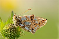 Close-up of Lesser Marbled Fritillary (Brenthis ino) on Blossom in Meadow in Spring, Styria, Austria Stock Photo - Premium Rights-Managednull, Code: 700-07672152