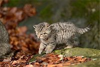 Portrait of European Wildcat (Felis silvestris silvestris) Kitten in Forest in Spring, Bavarian Forest National Park, Bavaria, Germany Stock Photo - Premium Rights-Managednull, Code: 700-07672240