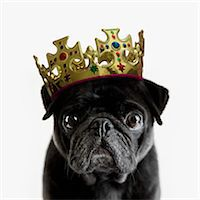 Pedigree Pug wearing a crown against white Stock Photo - Premium Royalty-Freenull, Code: 613-07673861