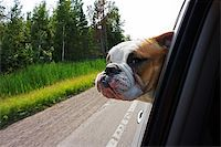 Image of a bulldog hanging head out of car window while driving along Stock Photo - Royalty-Freenull, Code: 400-07680824
