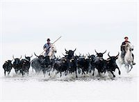 Black bulls of Camargue and their herders running through the water, Camargue, France Stock Photo - Premium Rights-Managednull, Code: 862-07690016