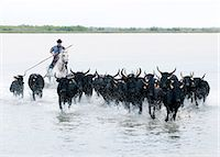 Black bulls of Camargue and their herder running through the water, Camargue, France Stock Photo - Premium Rights-Managednull, Code: 862-07690018