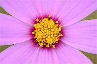 Close-up of a Garden cosmos or Mexican aster (Cosmos bipinnatus) in summer, Upper Palatinate, Bavaria, Germany Stock Photo - Premium Royalty-Freenull, Code: 600-07691593