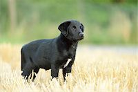 perception - Mixed Black Labrador Retriever standing in a field in summer, Upper Palatinate, Bavaria, Germany Stock Photo - Premium Royalty-Freenull, Code: 600-07691601