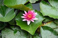 Close-up of a water-lily (Nymphaea) blossom in a little pond in summer, Bavaria, Germany Stock Photo - Premium Royalty-Freenull, Code: 600-07691612