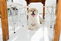 Dog panting under kitchen table Stock Photo - Premium Royalty-Freenull, Code: 6122-07703506