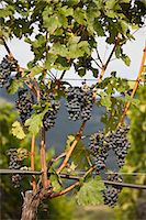 Close up of grapes on vine in vineyard Stock Photo - Premium Royalty-Freenull, Code: 6122-07705464