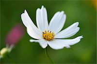 stamen - Close-up of a garden cosmos or Mexican aster (Cosmos bipinnatus) blossom in a garden in summer, Bavaria, Germany Stock Photo - Premium Royalty-Freenull, Code: 600-07707609