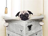 pug dog sitting on toilet and reading magazine having a break Stock Photo - Royalty-Freenull, Code: 400-07729322
