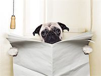 pug dog sitting on toilet and reading magazine having a break Stock Photo - Royalty-Freenull, Code: 400-07729323