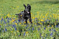 dogs in nature - A black Labrador dog in tall meadow grass. Stock Photo - Premium Royalty-Freenull, Code: 6118-07731907