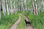 A black Labrador dog standing on a deserted path through aspen woods.