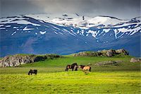 farming (raising livestock) - Icelandic horses in pasture with mountains in the background, at Hofn, Iceland Stock Photo - Premium Rights-Managednull, Code: 700-07760042