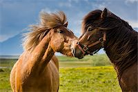 farming (raising livestock) - Close-up portrait of two Icelandic horses greeting each other, at Hofn, Iceland Stock Photo - Premium Rights-Managednull, Code: 700-07760046