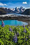 Spring flowers at scenic view of glacier and mountains, Svinafellsjokull, Skaftafell National Park, Iceland
