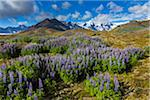 Scenic view of spring flowers with mountain in background, Svinafellsjokull, Skaftafell National Park, Iceland