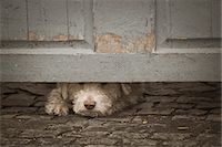 Dog peeking through under door Stock Photo - Premium Royalty-Freenull, Code: 6102-07769048